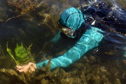 کاشت نیلوفر آبی در سراب نیلوفر در کرمانشاه +تصاویر