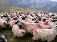 گوسفندان رومانیایی در راه ایران +تصاویر