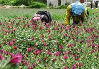 توسعه کشت گیاهان دارویی، بسترساز اشتغال و صادرات