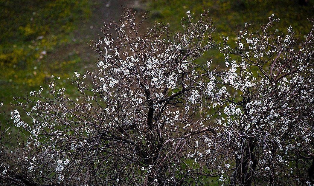 شکوفه سنندج