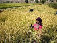 معرفی حدود ۳۰ رقم برنج در موسسه تحقیقات برنج