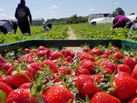 توتفرنگیهایی که نصیب گاوها شدند