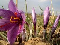 با انعقاد ۳/۳ میلیون قرارداد طی ۳.۵ ماه در بازار آتی بورس کالای ایران، معادل کل تولید زعفران کشور در این بازار دادوستد شد.