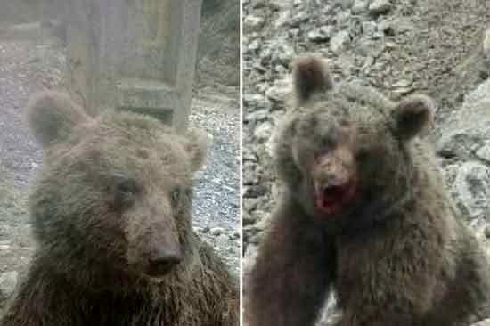 دستگیری سنگاندازان بیرحم به خرس قهوهای