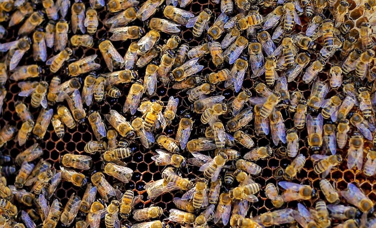 مزرعه پرورش زنبور عسل در بجنورد +عکس