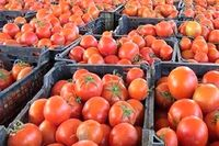 آغاز عرضه گوجه ۱۱هزار تومانی