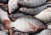 پرورش ماهی «تیلاپیا » فرصت یا تهدید؟