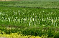 عطر برنج در کوهپایههای الموت +عکس