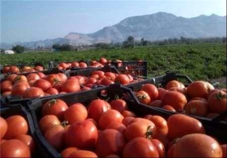 دولت ۹۰ درصد طلب گوجه کاران جنوب کرمان را پرداخت کرد