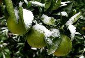 سرما میوههای سردرختی نوبرانه را از بین برد