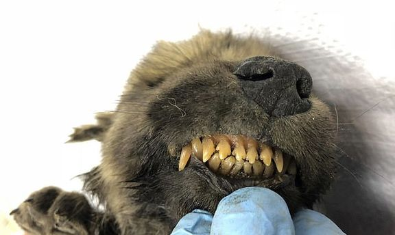 کشف جسد سالم توله سگی که ۱۸هزار سال پیش مُرده +عکس