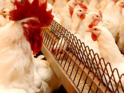 قیمت هر کیلوگرم مرغ زنده ۷۴هزارریال شد