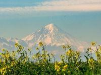 زردی چشم نواز مزارع کلزا +تصاویر