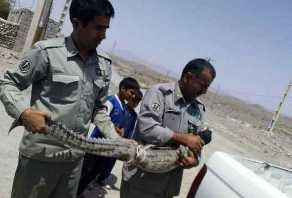 زنده گیری یک تمساح از منزلی در قصرقند +عکس