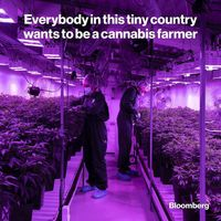 کشور کوچکی که همه در آن به دنبال کشت ماریجوانا هستند!
