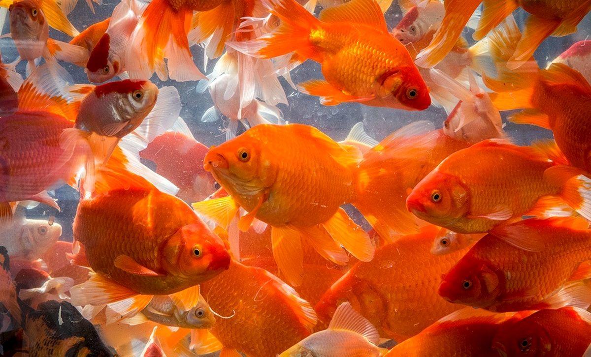 هشدار / مراقب خرید ماهی قرمز باشید!