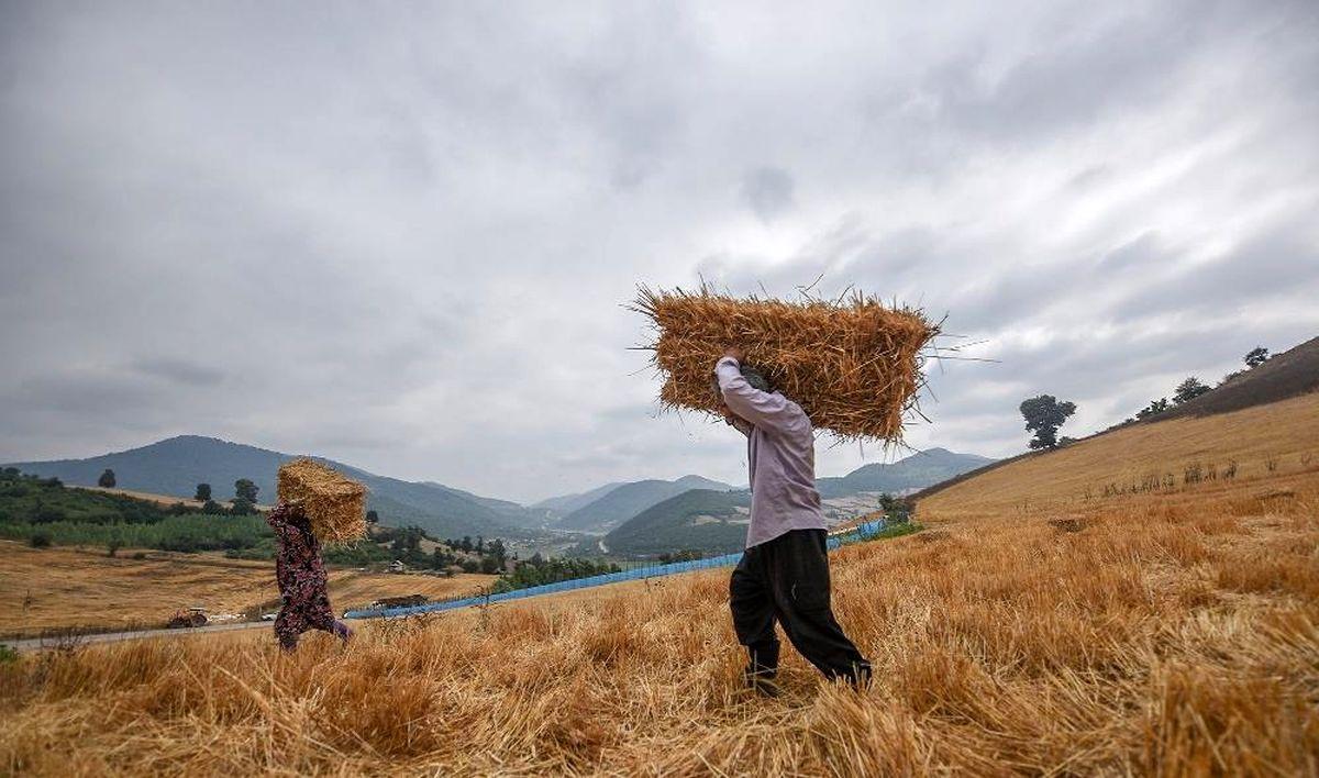 قیمت خرید تضمینی گندم بدون تغییر میماند/ ۵۷درصد کاهش کشت نسبت به مدت زمان مشابه سال قبل/ نفس خودکفایی گندم به شماره افتاد