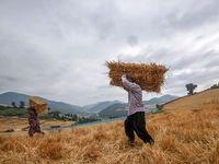 تولید گندم به مرز ٩میلیون تن رسید / تسویه حساب گندمکاران اواخر مهر ماه