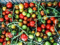 رکورد تولید گوجه فرنگی در یک روستای زلزله زده کرمانشاه