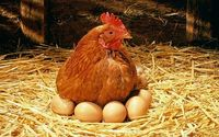 مرغهای تخم گذار در آستانه کشتار