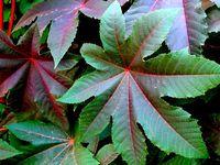 توسعه کشت گیاهان دارویی در برنامه ششم توسعه