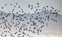 ورود پرندگان مهاجر به تالاب بینالمللی گندمان +تصاویر