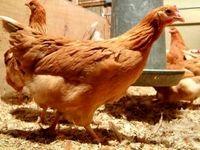 این مرغها تخم ضد سرطان میگذارند