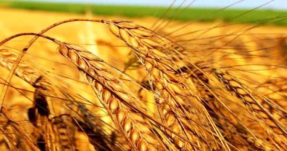 خرید تضمینی 3میلیون تُن گندم  از کشاورزان