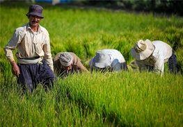 توجه به بخش کشاورزی سبب خودکفایی در تولید گندم شد