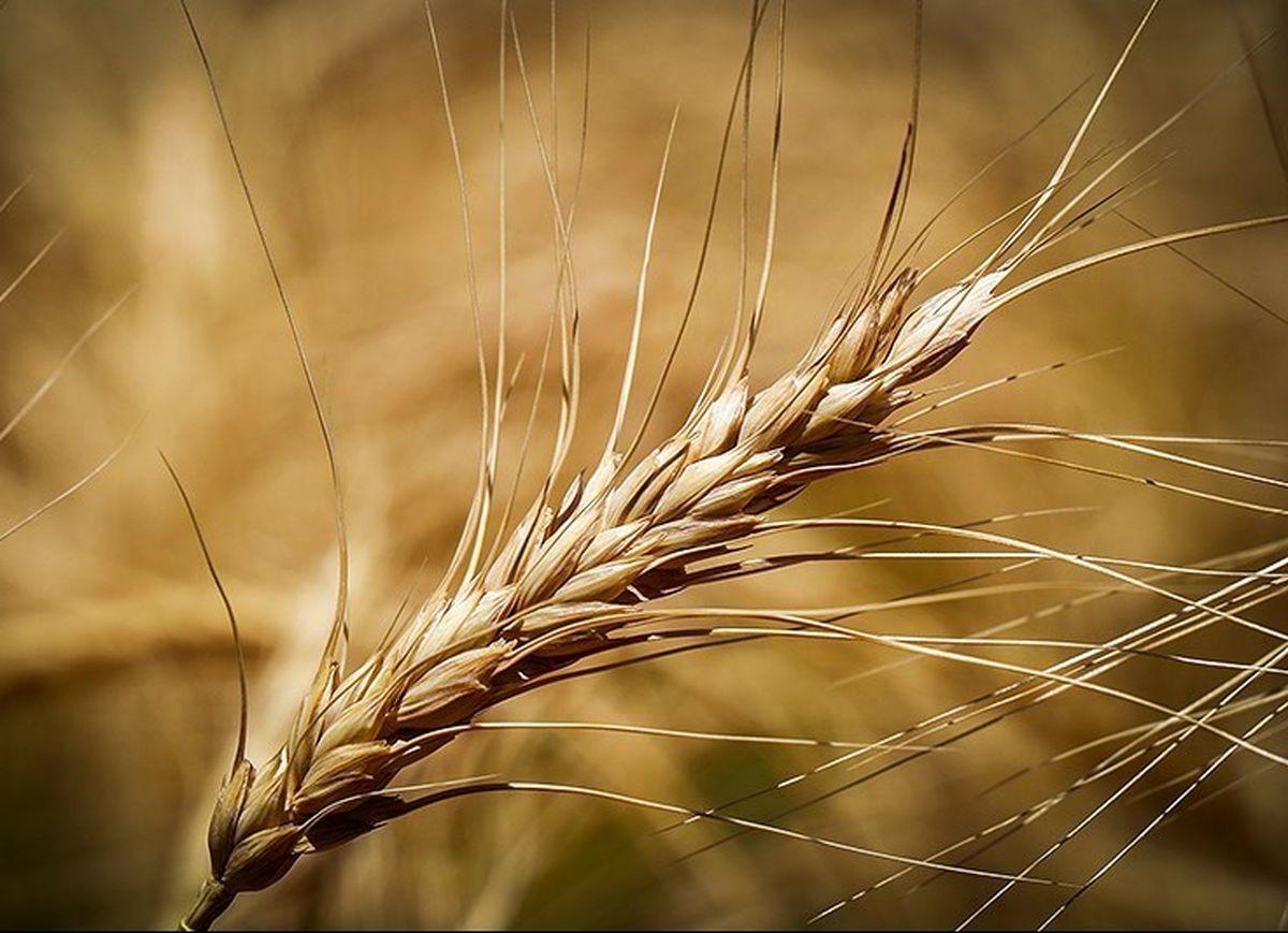 قیمت خرید تضمینی گندم مورد تایید مجلس نیست