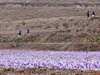 برداشت زعفران در گلستان +عکس