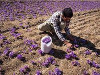 آغاز برداشت زعفران در کشور/ هر کیلوگرم زعفران نوبرانه 8 تا 12 میلیون تومان