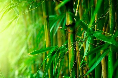 واردات بامبو نیاز به گواهی بهداشت ندارد