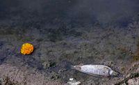 مرگ ماهیان رودخانه قرهسو +تصاویر