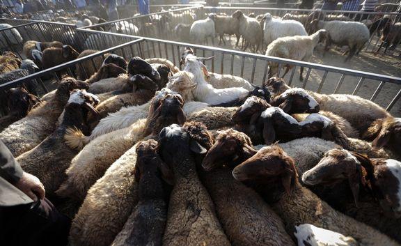 کاهش 6هزارتومانی قیمت دام زنده در بازار/ تغییر روش توزیع قیمت گوشت قرمز توسط وزارت صمت قیمت را بالا میبرد
