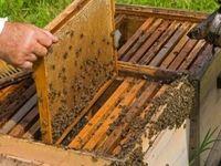 شکر مورد نیاز زنبورداران تحویل نشد
