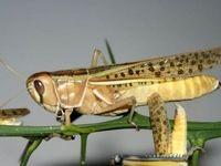 آمادهباش! ملخهای دریایی وارد خاک ایران شدهاند