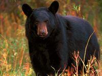 خرس سیاه بلوچی در قاب دوربین + فیلم