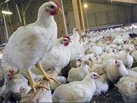 قیمت مرغ تا ۸۵۰۰تومان افزایش مییابد
