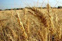 قیمت گندم هفته آینده اصلاح میشود