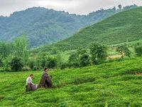 ۱۲۴میلیارد تومان از مطالبات چایکاران پرداخت شد/ میزان خرید برگ سبز چای به ۹۲هزار تن رسید