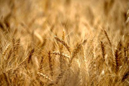 برداشت گندم از مزارع مازندران  +تصاویر