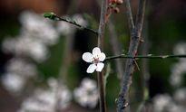 شکوفههای بهاری کرمانشاه +عکس