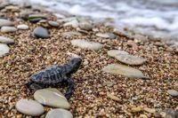 سفر پرمخاطره بچه لاکپشتها +تصاویر
