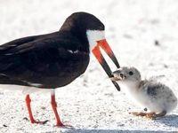 ته سیگار، خوراک جدید پرندگان دریایی +عکس