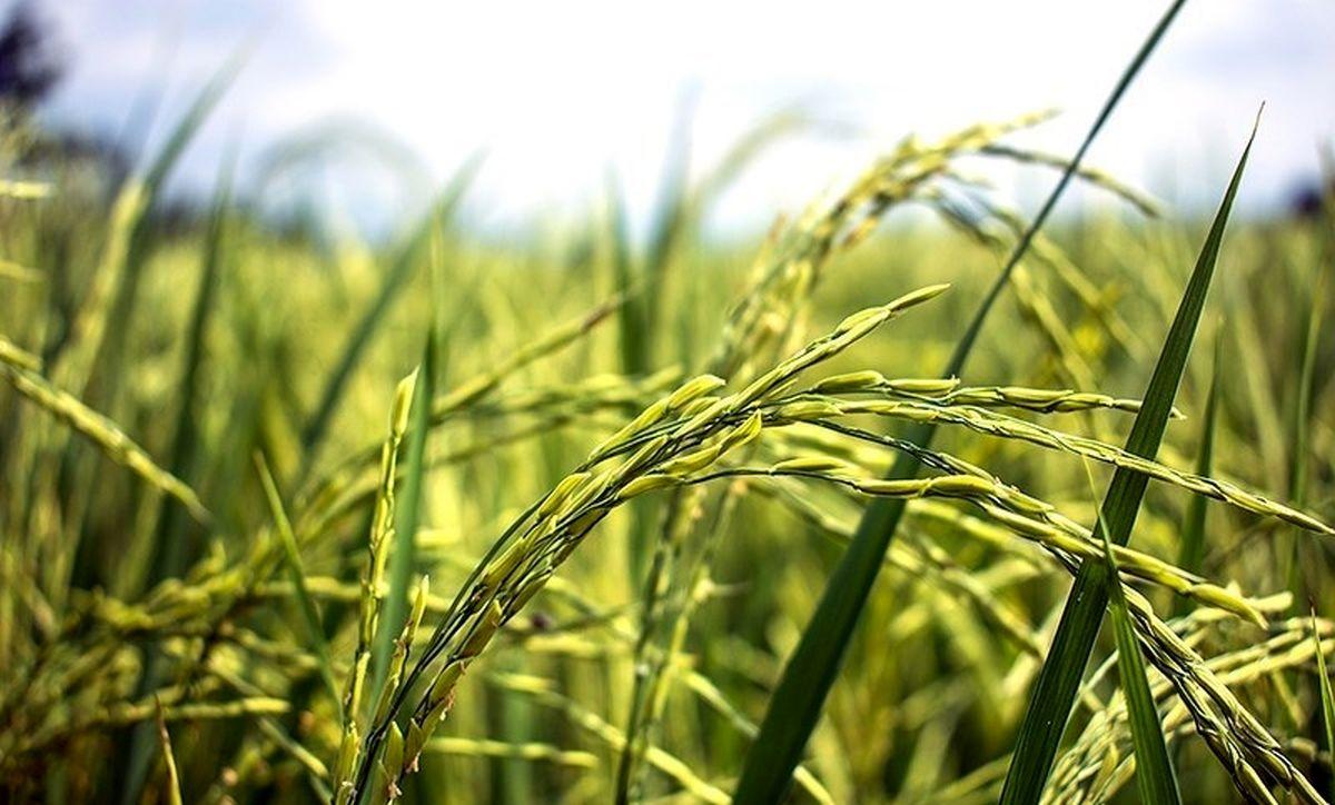۴۶.۲ درصد؛ افزایش قیمت برنج طارم