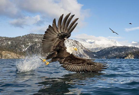 لحظه ماهی گرفتن عقاب سرسفید از فاصله نزدیک +عکس
