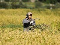 کشت دوم محصولی که جان میگیرد و خشکسالی میآورد/ مصرف بالای کود و سم در کشت دوباره برنج