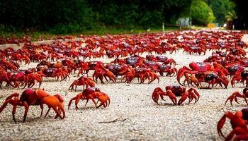 جزیرهای که بیشتر از آدم، خرچنگ دارد! +تصاویر