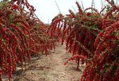 زرشککاران: کشاورزی را تعطیل کنید، خیال ما را راحت